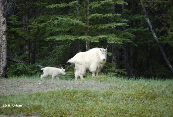 canadian rockies, family, goats, camping